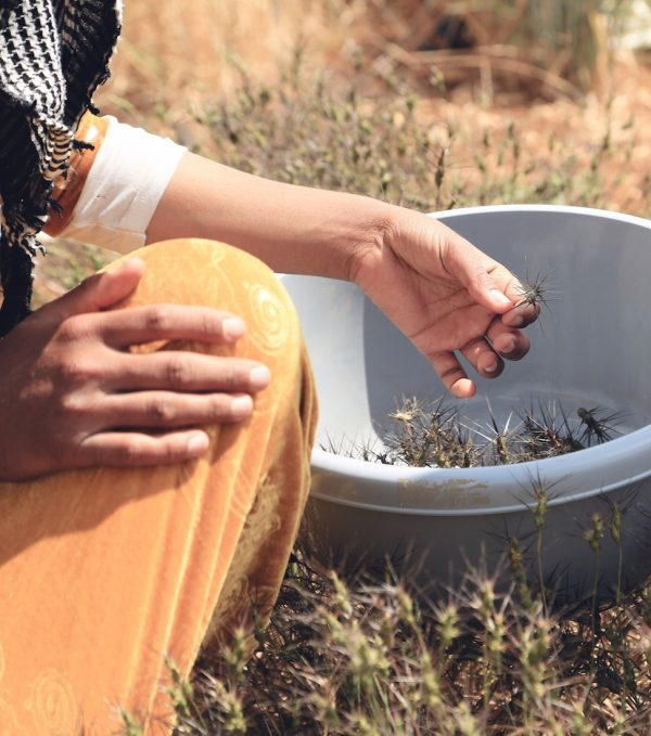 Collecting in the fields at ICARDA in Terbol, LebanonCredit: Shawn Landersz