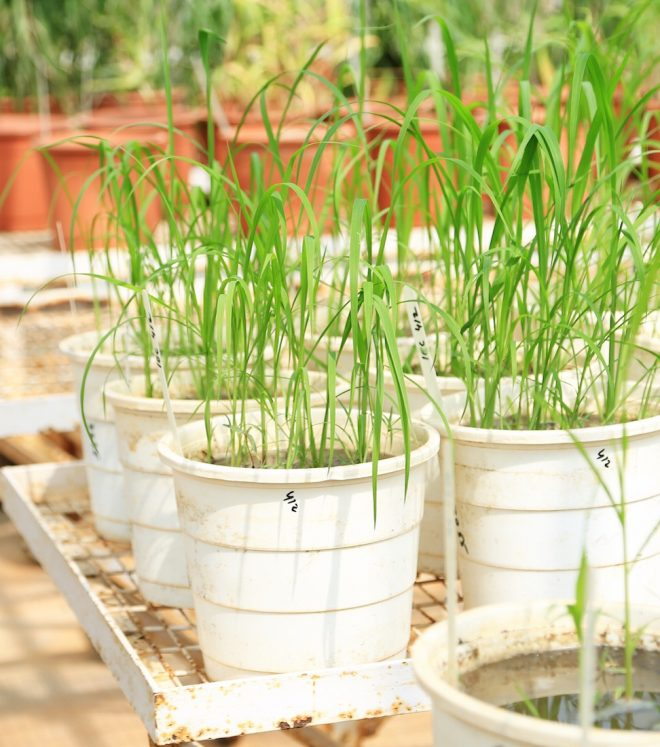 Accessions of wild cereals ready for multiplication at the ICRISAT genebank.