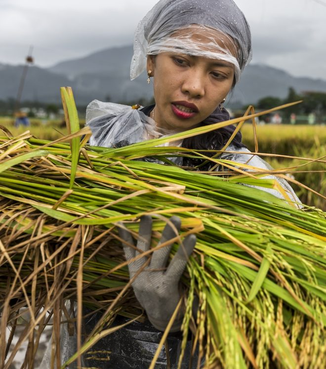 Harvesting rice accessions at IRRI in Los Baños, Philippines.