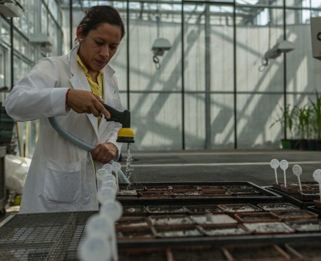 A CIMMYT technician tends to maize plants in a greenhouse in Texcoco.