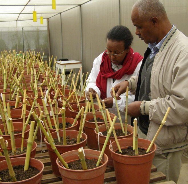 Two ILRI genebank staff plant and label cuttings of Napier grass, received from EMBRAPA, Brazil into pots.