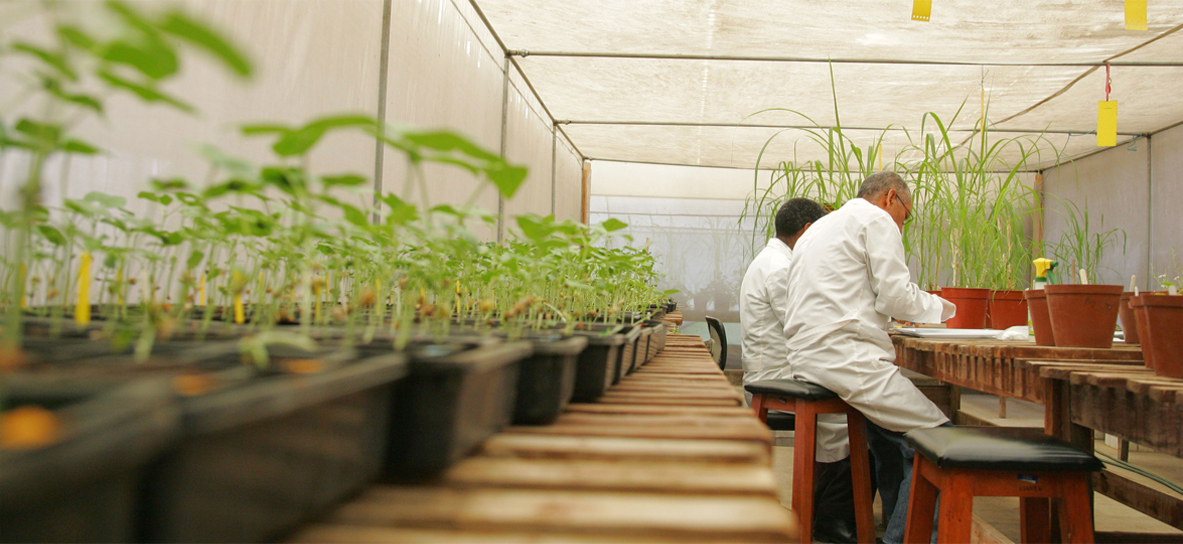 Our scientists at ILRI Addis greenhouse - Testing for viruses. Photo by XXX, Source: Flicker, Crop Trust copyright.