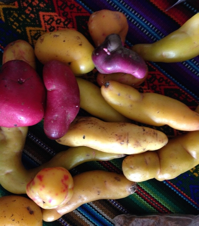 Andean roots and tubers from El Parque de la Papa in Cusco, Peru Credit: Crop Trust