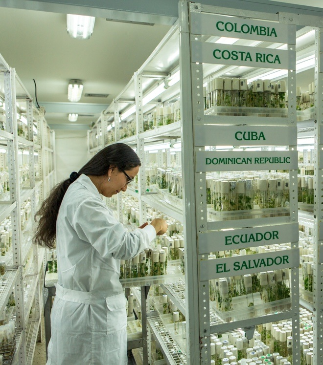 Cassava in the in-vitro lab at CIAT in Colombia. Credit: Global Crop Diversity Trust