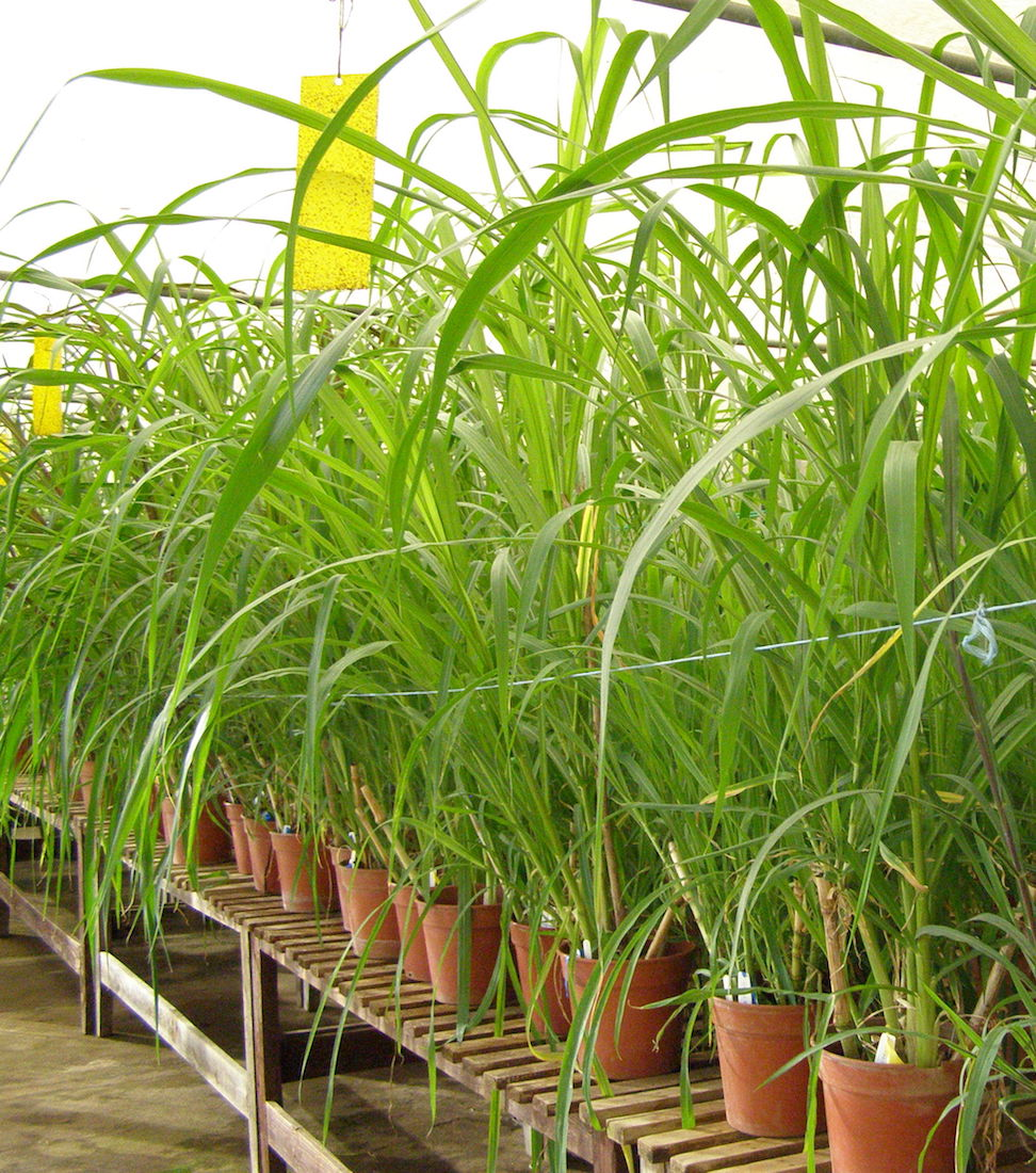 New accessions of Napier grass received at ILRI's Forage Genebank from EMBRAPA in Brazil. Credit: International Livestock Research Institution