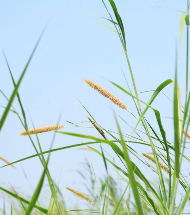 right-aligned-1_pearl-millet