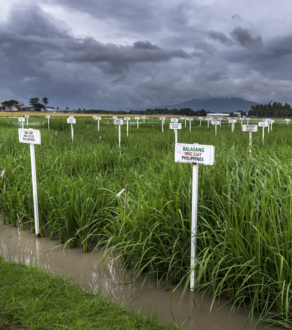 Rice accessions growing at IRRICredit: Getty Images Reportage Photographer Brent Stirton