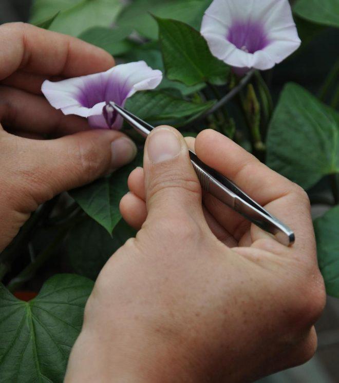 Sweet potato fertilization Credit: Cary Fowler, Global Crop Diversity Trust