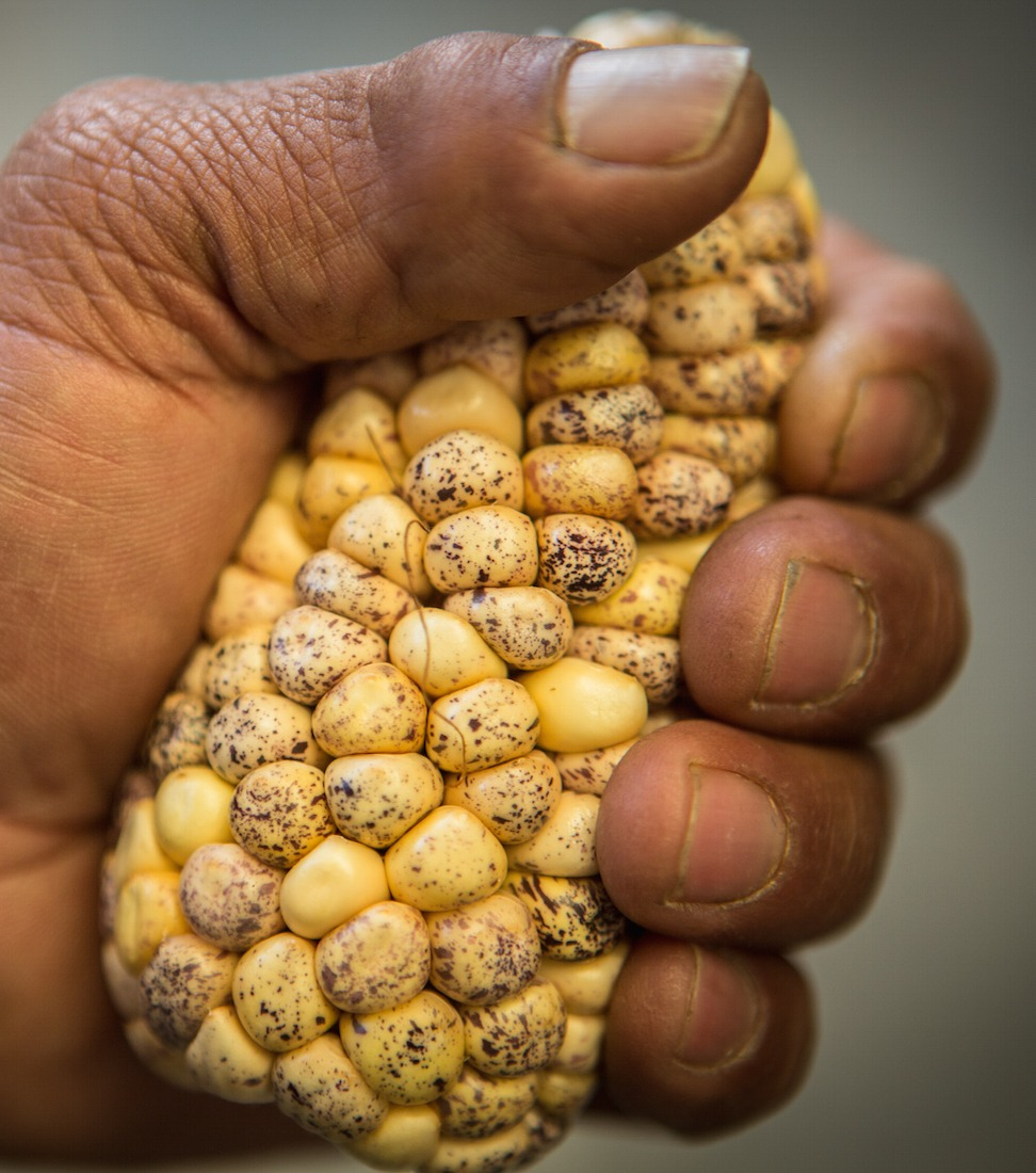 October 8, 2015. Different varieties of Maize are displayed after collection before stored at the Maize Genebank in Texcoco, Mexico. Photo Credit: Juan Arredondo/Reportage by Getty Images for The Global Crop Diversity Trust.